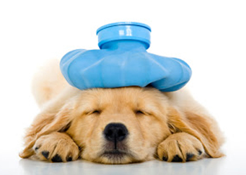 Sygdom Hvad nu hvis mit kæledyr bliver sygt mens jeg/vi er væk? Hvad nu hvis mit kæledyr bliver sygt mens jeg/vi er væk? syg hund